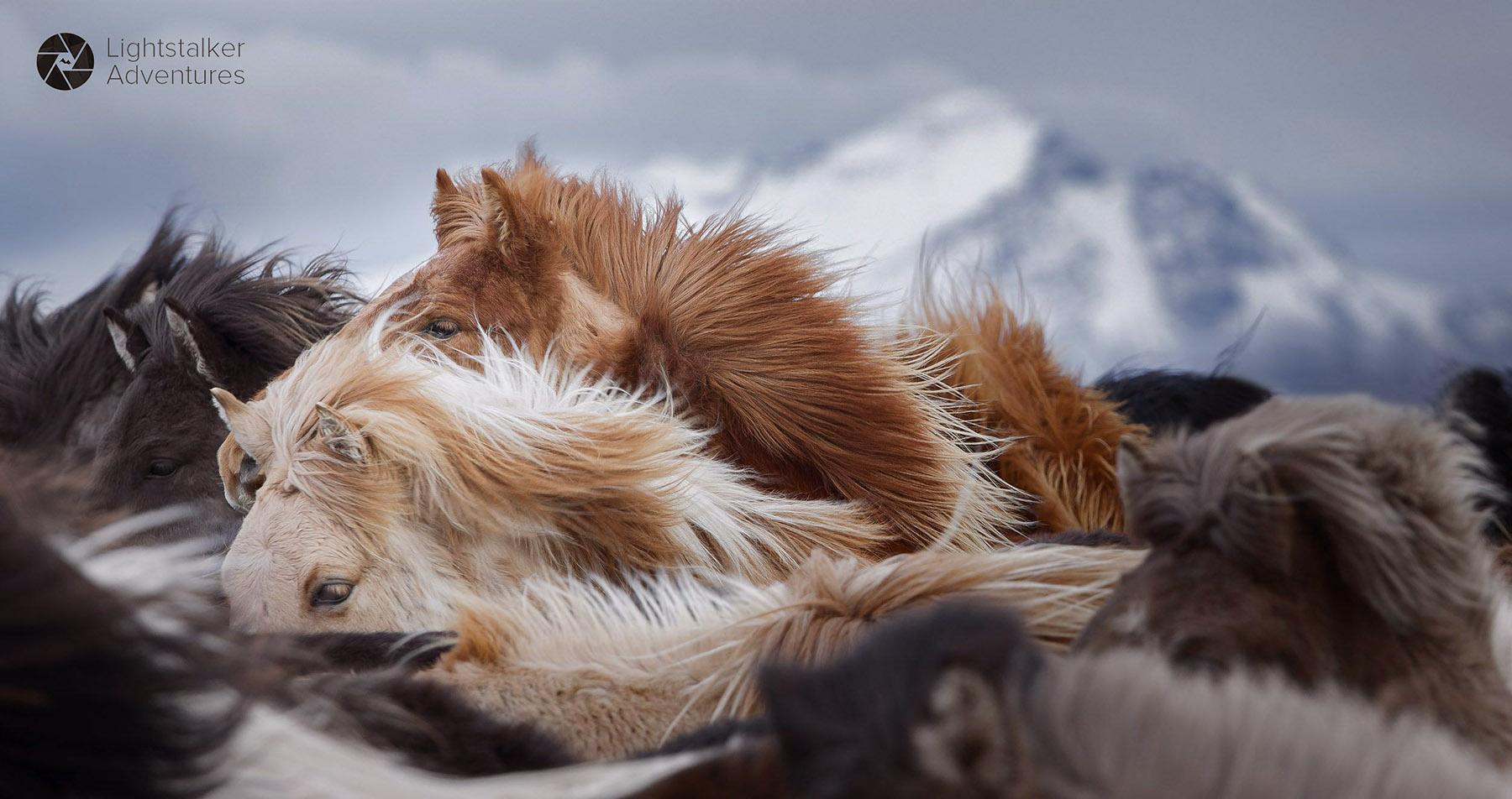 Icelandic-horses-South-Iceland 1