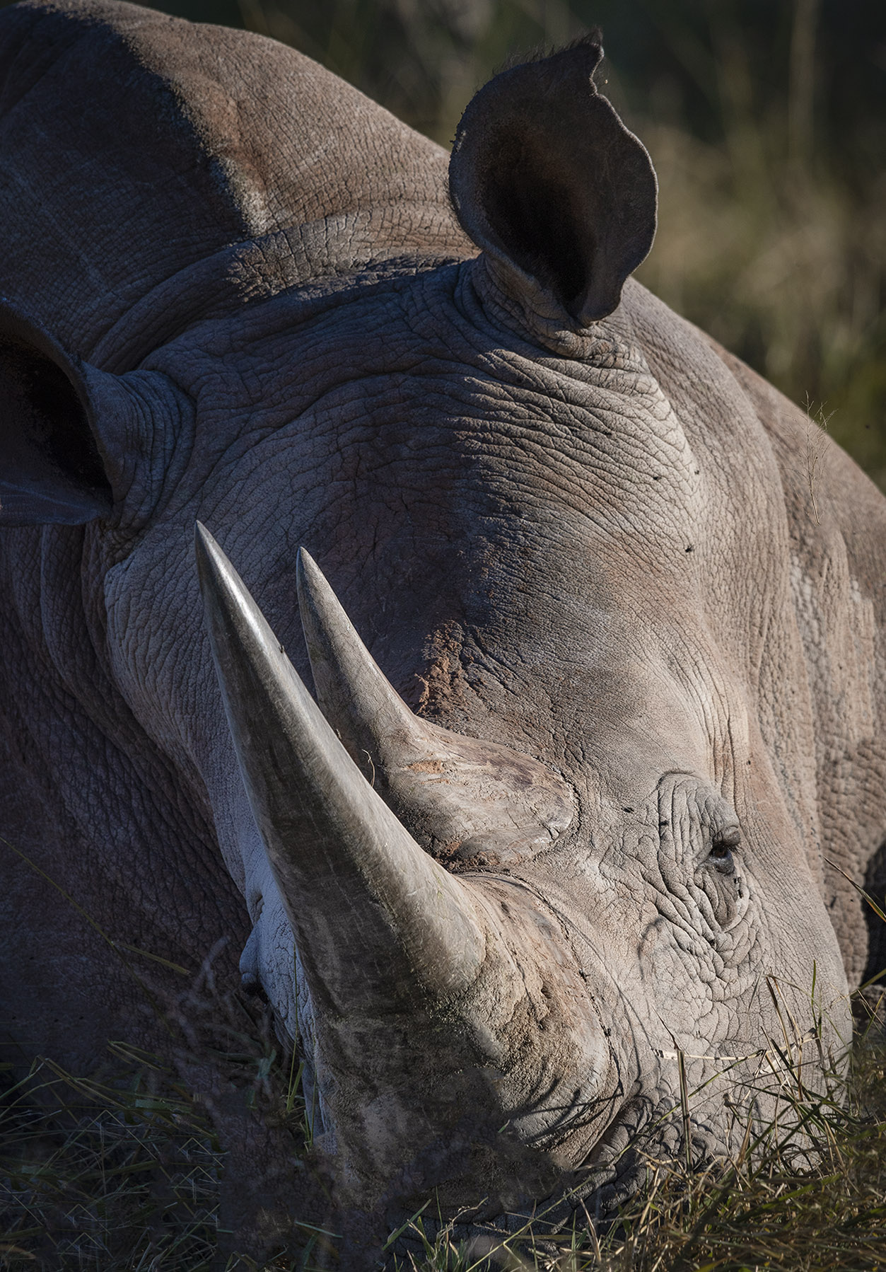 Rhino close up